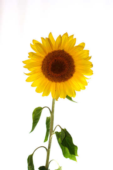 Sunflower flower on isolated white background №32794