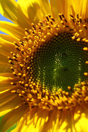 Sunflower flower macro №32681