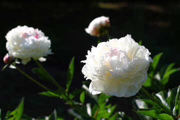 Flowers white peonies №32640