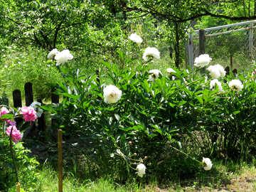 Blumen Blumenbeet mit Pfingstrosen №32636