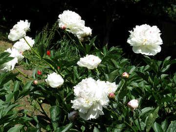 White peonies №32630