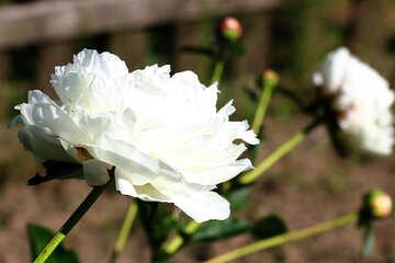 White peonies №32650