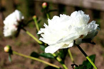 White peonies №32651