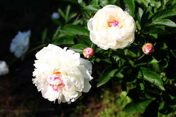 White peonies on Bush №32648
