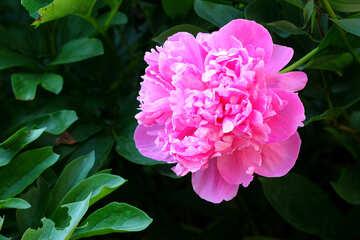 Rosa peonia №32658