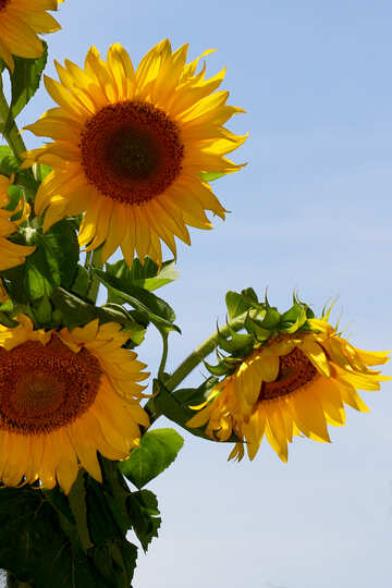 A bouquet of sunflowers on blue background №32696