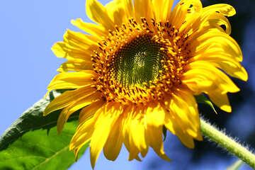 Sonnenblume Blume №32677