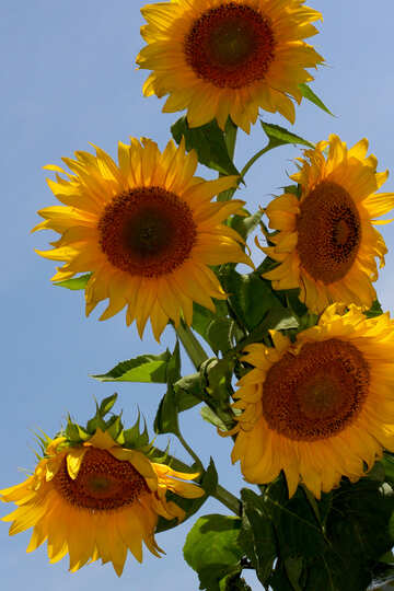 Sunflowers on blue №32694