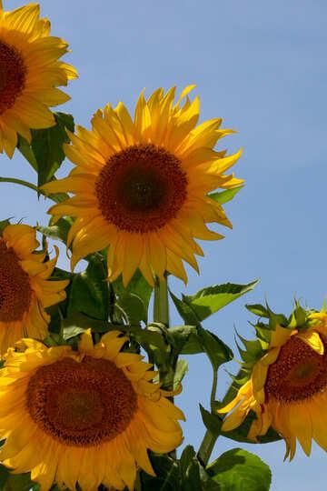 Sonnenblumen auf blauem Hintergrund №32695