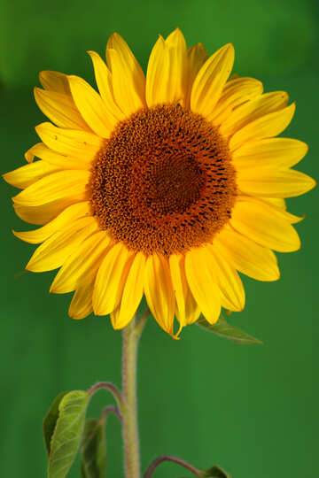 Sunflower on green background №32800