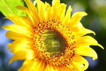 Sonnenblume №32685