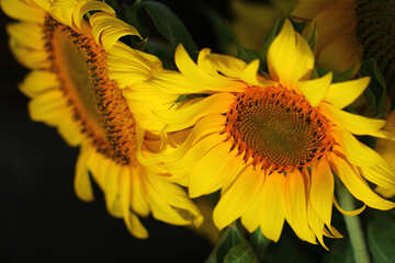 Bright flower of sunflower №32804