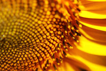 Desktop with sunflower №32777