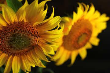 Sunflowers on the desktop №32814