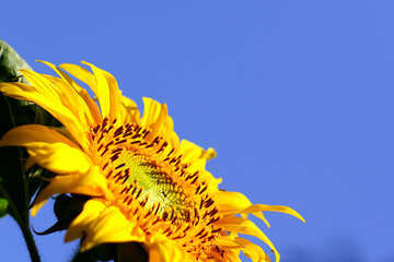 Sunflowers on blue background on the desktop №32683