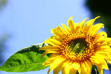 Sunflower desktop wallpapers №32684
