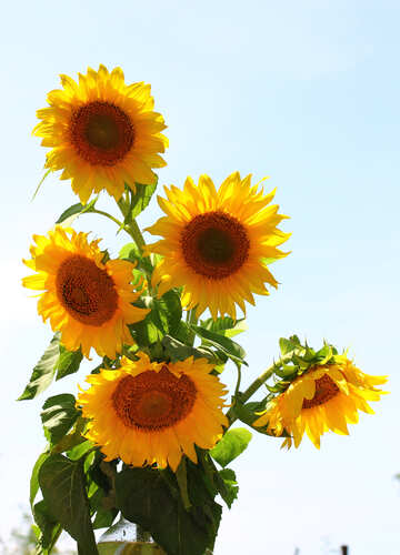 A bouquet of sunflowers isolated on white background №32697