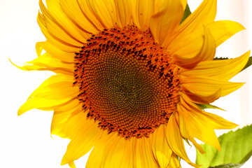 Large sunflower on white background №32764