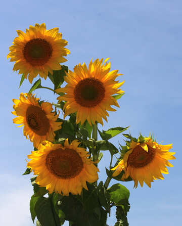Sunflowers on blue background, isolated №32692