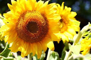 A yellow flower №32832