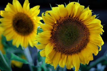 Sunflower №32823