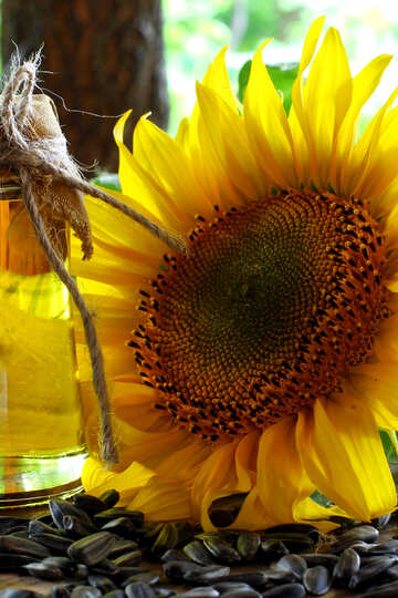 Sunflower №32732
