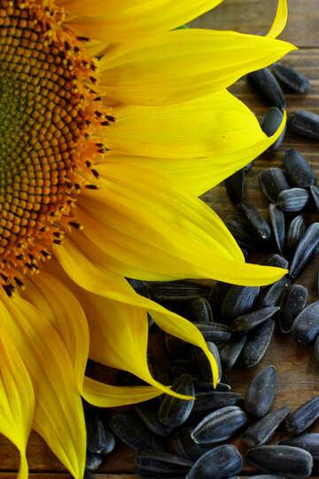 Sunflower seeds №32753