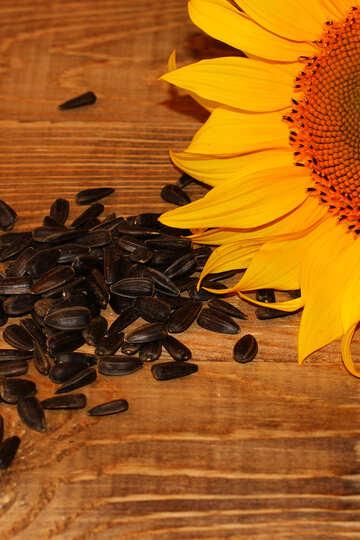 Sunflower seeds №32761