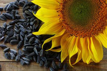 Sunflower seeds №32752