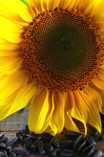 Sunflower seed oil №32747