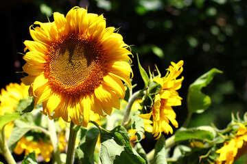 Sunflowers №32840