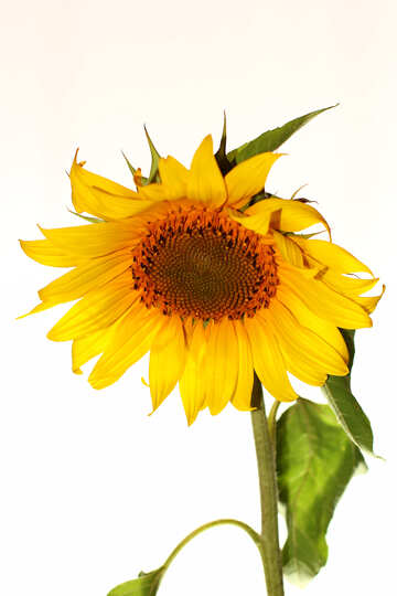 Sunflower №32786