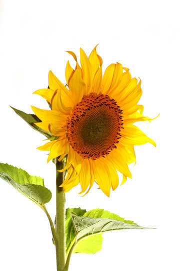 Flower of sunflower №32767
