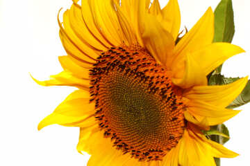 Flower of sunflower №32770