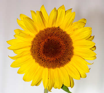Sunflower flower №32796