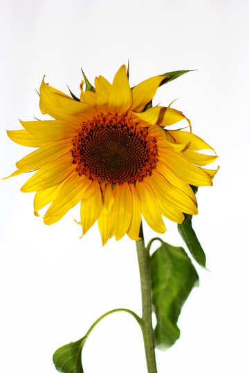 Sunflower flower on white background №32791