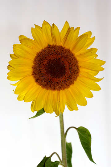 Sunflower flower on white background №32795