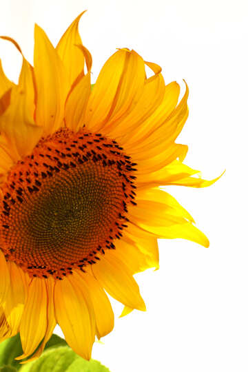White background with sunflower on the side №32763