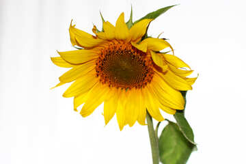 Sunflower on white №32788