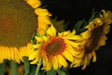 Postkarte mit Strauß von Sonnenblumen №32801