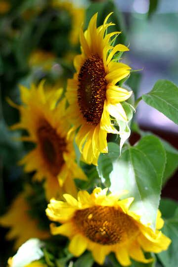 Sonnenblumen №32690