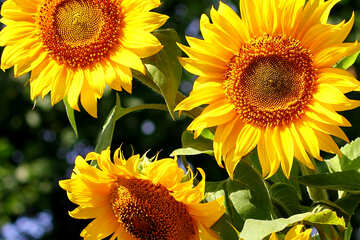 Beautiful sunflowers №32702