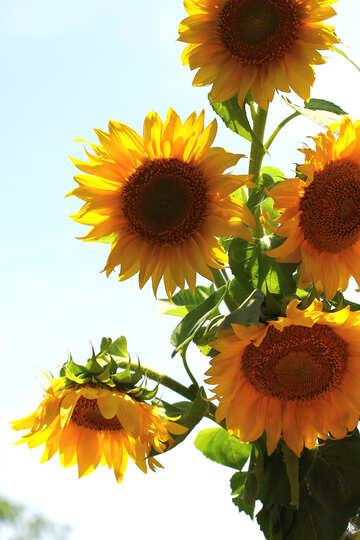 Ein Strauß Sonnenblumen auf weißem Hintergrund №32699
