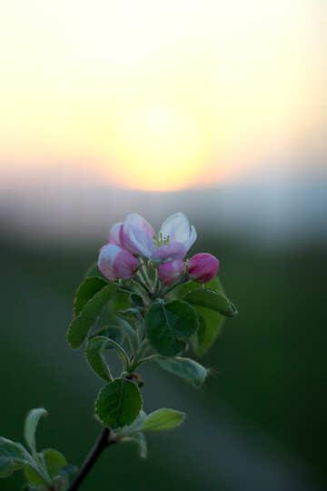 Цветущей яблоня на закате солнца  №32433