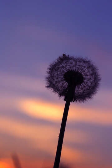 Dandelion at sunset №32417