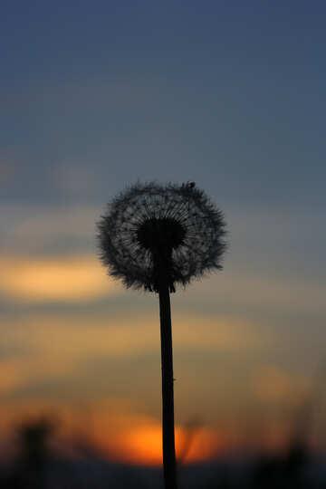 Dandelion at sunset №32419