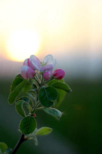 Fiori al tramonto №32438