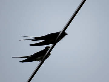 Swallows on wire №32934