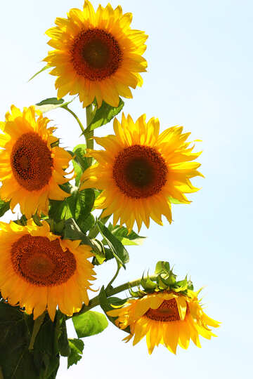 Bouquet of sunflowers for wishes №32698