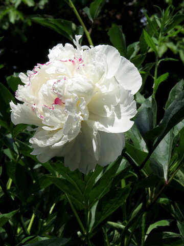 Beautiful flower White Peony №32632